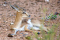 Baby springbok in the kalahari desert Stock Images