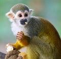 Baby Squirrel Monkey Saimiri Eating Popcorn ! Royalty Free Stock Photo