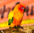 Baby sun conure parrots on a tree branch Royalty Free Stock Photography