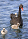Baby swan chick 02 Royalty Free Stock Photo