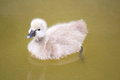 Baby swan on lake Royalty Free Stock Photo
