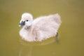 Baby swan on lake