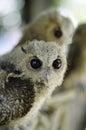 Baby tawny owl Royalty Free Stock Photo