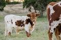 Baby Texas Longhorn Bull, Drif...