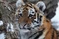 Baby tiger Royalty Free Stock Photo