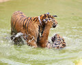 Baby tiger playing in water Royalty Free Stock Photos