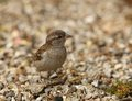 Baby Tree Sparrow Royalty Free Stock Photo