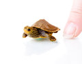 Baby turtle image of a common map against white background with human finger for scale Stock Photography