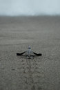 Baby turtle taking first steps to the waters edge Royalty Free Stock Photo