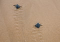 Baby turtles Royalty Free Stock Photography