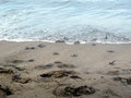 Baby turtles going to sea hatched on the beach reaching the Stock Image