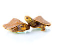Baby turtles image of two common map against white background Stock Photo