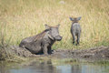 Baby warthog leaving mother wallowing in mud Royalty Free Stock Photo