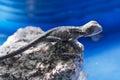 Baby Water Dragon Royalty Free Stock Photo