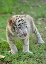 Baby white bengal tiger Royalty Free Stock Photo