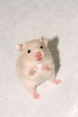 Baby white hamster Royalty Free Stock Photo