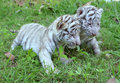Baby white tiger playing on grass Stock Image