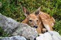Baby Whitetail Deer Fawn Looking at You Royalty Free Stock Photo