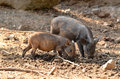 Baby wild boar in nature Royalty Free Stock Images