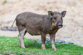 Baby wild boar stand over grass Royalty Free Stock Photography