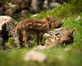 Baby wild boars sus scrofa a group of boar or pigs in the green grass of the summer sun Royalty Free Stock Photos