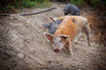 Baby wild pigs feral piglets in corsican mountains Stock Photography