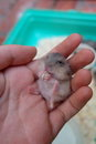 Baby winter white hamster Royalty Free Stock Photo