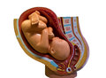 Baby in the womb model Royalty Free Stock Photo