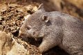 Baby wombat common or naked nosed in tasmania australia Royalty Free Stock Photos