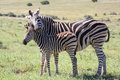 Baby zebra and mom with it s mother showing love affection Stock Image