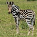 Baby zebra standing alone looking at its mother Royalty Free Stock Photo
