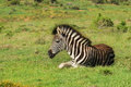 Baby zebra a young burchell s colt equus quagga burchellii lying resting in grass at addo elephant national park in south africa Stock Photos