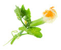Baby zucchini with flower isolated Royalty Free Stock Photo