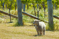 Babydoll sheep Stock Photography