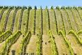 Babydoll sheep in a vineyard Royalty Free Stock Photo