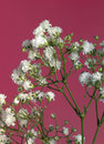 Babys breath gypsophila paniculata in front of red back Stock Image