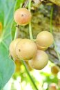 Baccaurea ramiflora on the tree Stock Images