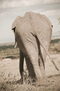 Back of Elefant in Masai Mara Stock Images