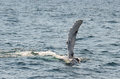 Back fin of the mighty humpback whale megaptera novaeangliae seen from boat near plymouth ma Stock Photography
