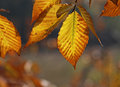 Back lit beech tree leaves autumn Royalty Free Stock Photography