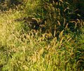 Beautiful back lit golden seed heads among the green grass Royalty Free Stock Photo