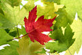 Back Lit Maple Tree Leaves Royalty Free Stock Photography