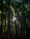 stock image of  Bamboo Grove, Japan