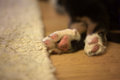 Back paws of Bernese Mountain Dog puppy