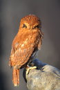 Back of a pygmy owl Royalty Free Stock Images