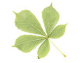 Back side of chestnut green leaf isolated on white Royalty Free Stock Photo