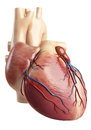 Back side view of the heart interior structure Stock Image