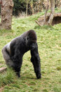 Back silver gorilla Royalty Free Stock Image