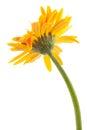 back single gerbera flower yellow isolated Royalty Free Stock Photo