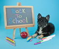 Back to school cute little pomsky puppy laying on a blue background with a sign and supplies all around him Royalty Free Stock Image